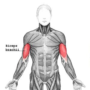 biceps_brachii1